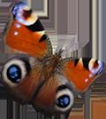 vlindervoorwebpage_120px